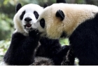 Guangzhou giant panda twins began to live independently